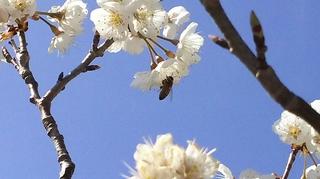 サクランボの花.JPG