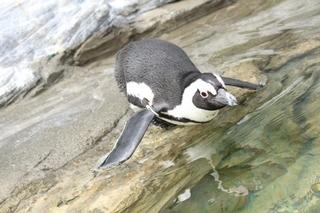 飛び込もうとするペンギン.jpg