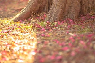 樹の根と花びら.jpg